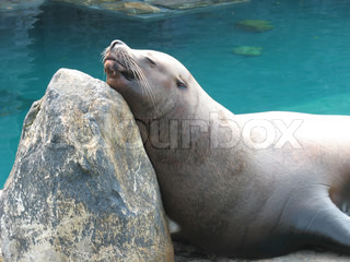 A large sea lion sunning himself on a rockA gentle giant