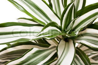 Macro view of striped succulent leaves over white background
