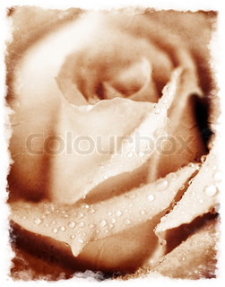 Closeup on beautiful grunge rose with dew drops