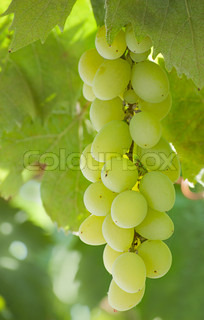 grapes, bunch of grapes, white grapes
