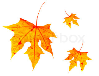 Autumnal orange leaves falling down, isolated on white