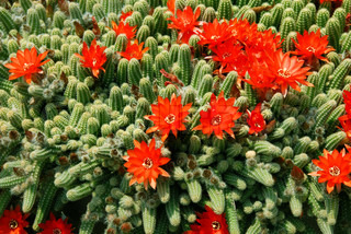 blooming flowers of Red Torch Cactus, Echinopsis huascha