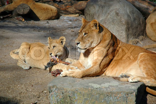 Lion mother and child eating