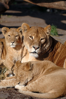 Lion mother whit her small babies