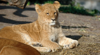 Small baby lion resting in the sun