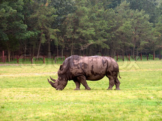 An African rhinocerous grazing in a field - a very big fellow