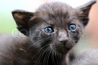 Cat with blue eyes looking at the camera