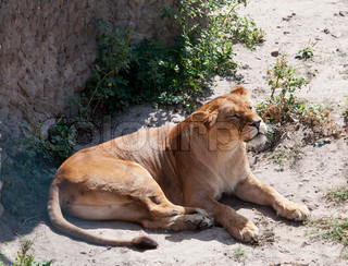 The beautiful lioness lying on the ground
