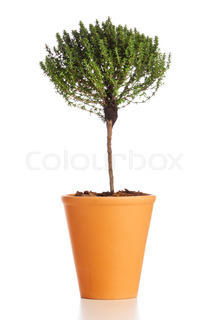 Potted thyme plant isolated