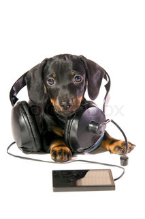 The black dog dachshund lays and listens to music through mp3