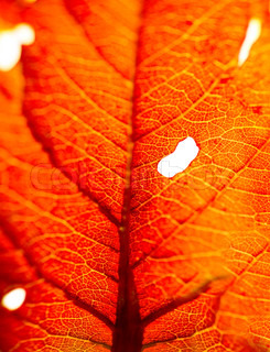 Red leaf background, macro of dry autumn leaf