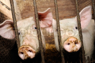 Pigs Behind Bars in Barn