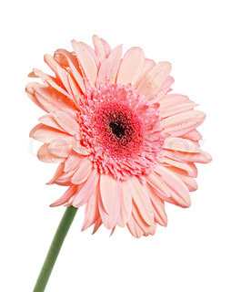 Gerbera with dew isolated on white background