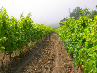 rows of vines in fogged mountain