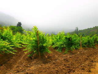 vineyard in fogged mountain