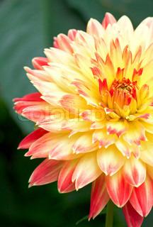 Close-up rød- gule Dahlia blomst som i haven