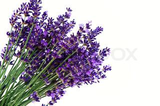 Lavendel blomster isoleret mod en hvid baggrund Lilla sommerblomster