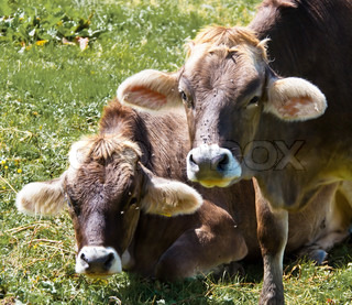 Several cows graze in a pasture and enjoy the summer Animals in Agriculture