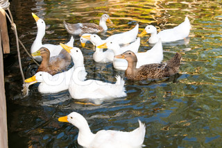The group of Geese and ducks float in a reservoir