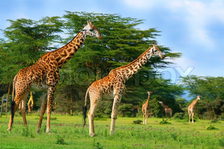 Family of wild giraffes on the lake Naivasha