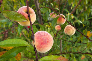 Ripe fruits from the peach tree