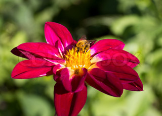 close- up bee om blomsten indsamler nektar