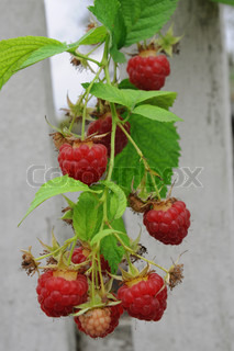 Twig of red raspberry over a fence