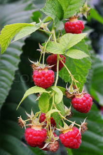 Twig of raspberry
