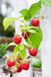 Twig of raspberry over white fence