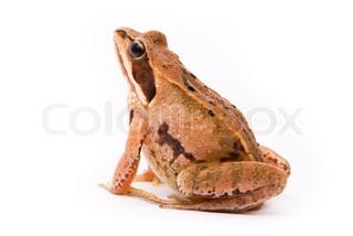 Moor frog on white background