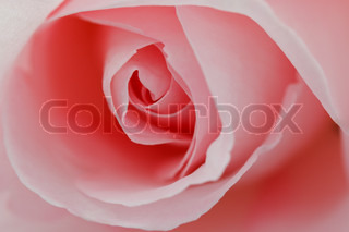 Macro flower beautiful rose for a background image