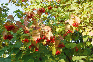 Viburnum branches with red-ripe berries