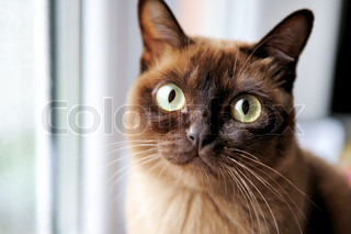 A closeup portrait of young chocolate burmese cat