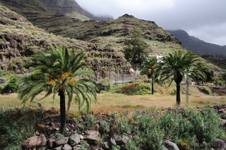 Palm Trees i bjergene, Gran Canaria Spanien