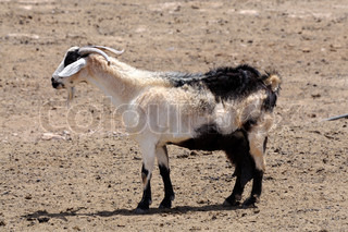 Goat on the farm, Canary Island Fuerteventura
