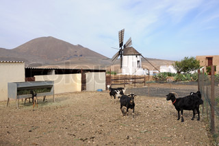 Goat farm with traditional windmill on Canary Island Fuerteventura