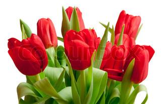 smukke røde tulipaner i pose