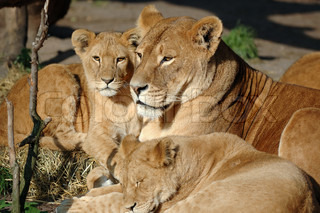 Lion family resting in the sun