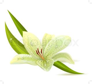 Hvid lilje isoleret på hvid baggrund