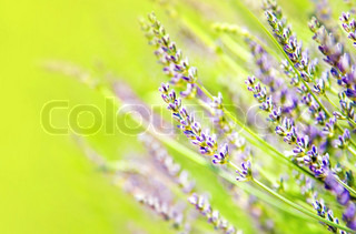 Fresh lavender field, beautiful natural border, floral background, macro on tiny flowers