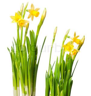 udlånt Lily ( påskelilje ) isoleret på hvidt