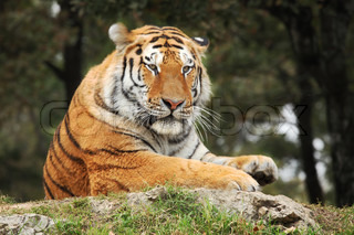 Portrait of resting tiger from Safari Park in Novara, Italy