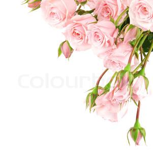 Frisk lyserøde roser grænsen isoleret på hvid baggrund