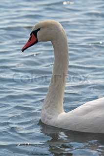 Swan's curved neck and head