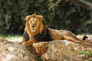 Lion resting in the shade under the trees