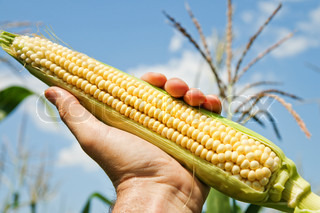 view of an ear of corn in hand