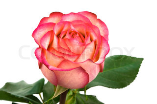 Beautiful pink rose on a white background