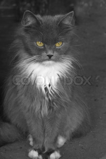 Grey cat with yellow eyes on a grey background Calmness and serenity