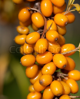 Branch of sea-buckthorn with its typical orange berries
