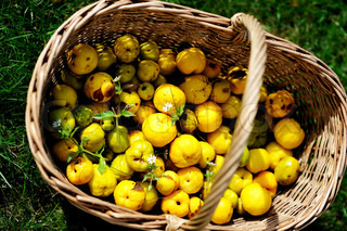 Ripe fruits of Japan quince in garden basket